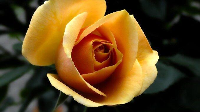 A rose for Kayla